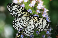 Mariposa hermosa Fotografía de archivo libre de regalías