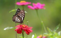 Mariposa hermosa Foto de archivo libre de regalías
