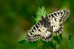 Mariposa hermosa Adorno meridional de la mariposa agradable, polyxena de Zerynthia, chupando el néctar de la flor verde oscuro Ma Fotos de archivo libres de regalías
