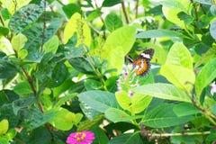 Mariposa hermosa, Bali, indonesio Fotos de archivo libres de regalías