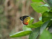 Mariposa hermosa con la hoja Fotografía de archivo
