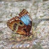 Mariposa hermosa con las alas azules y marrones Aegeria de Pararge Imagenes de archivo