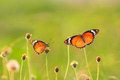 Mariposa hermosa dos Imagen de archivo libre de regalías