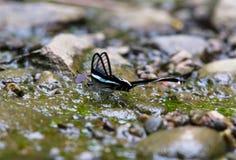 Mariposa hermosa en corriente en el bosque Fotos de archivo libres de regalías