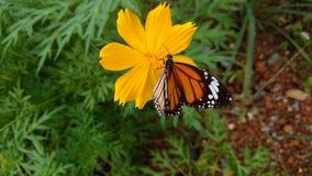 Mariposa hermosa en la flor amarilla de Quynh Nguyen Fotografía de archivo libre de regalías