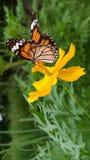 Mariposa hermosa en la flor amarilla de Quynh Nguyen Imagenes de archivo