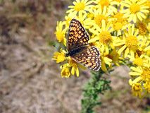 Mariposa hermosa en la flor amarilla, Lituania fotos de archivo