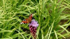 Mariposa hermosa en la flor en el prado almacen de video