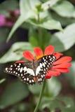 Mariposa hermosa en la flor roja imagenes de archivo