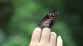 Mariposa hermosa en la mano humana