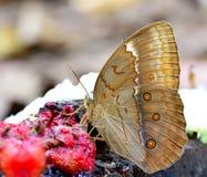 Mariposa hermosa en la naturaleza, syr que sorbe de Junglequeen del camboyano Fotografía de archivo