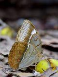 Mariposa hermosa en la naturaleza, syr que sorbe de Junglequeen del camboyano Fotografía de archivo libre de regalías