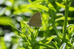 Mariposa hermosa en ramas de la planta, insecto del hyperantus de Aphantopus del rizo que se sienta en las hojas imagen de archivo