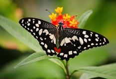 Mariposa hermosa en una flor Fotos de archivo libres de regalías