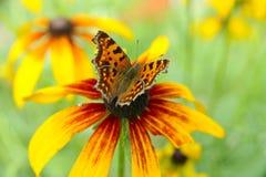Mariposa hermosa en una flor del verano Imagen de archivo