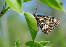 Mariposa hermosa en una hoja verde Mariposas de la primavera Adorno meridional Copie los espacios Fotos de archivo libres de regalías