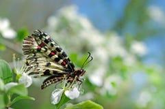 Mariposa hermosa en una rama de flores de cerezo Mariposas de la primavera Adorno meridional Huertas florecientes Copie los espac Imágenes de archivo libres de regalías