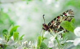 Mariposa hermosa en una rama de flores de cerezo Mariposas de la primavera Adorno meridional Huertas florecientes Copie los espac Imagen de archivo