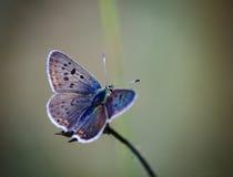 Mariposa hermosa fabulosa Foto de archivo
