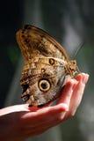 Mariposa hermosa frágil que se sienta en una mano Imágenes de archivo libres de regalías
