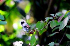 Mariposa hermosa, Heliconian, llave del piano Fotos de archivo