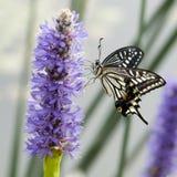 Mariposa hermosa por la charca imagen de archivo