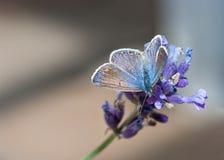 Mariposa hermosa que alimenta en las flores de la lavanda Fotografía de archivo