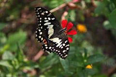 Mariposa hermosa que chupa el néctar en un zinnia rojo Fotografía de archivo