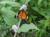 Mariposa hermosa que se sienta en la pequeña flor blanca Foto de archivo