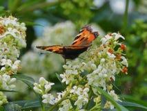 Mariposa hermosa Vanessa Atalanta Imagen de archivo