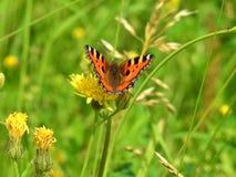 Mariposa hermosa Vanessa Atalanta Fotografía de archivo