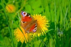 Mariposa hermosa y diente de león amarillo. Foto de archivo libre de regalías