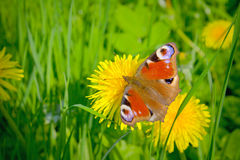 Mariposa hermosa y diente de león amarillo. Imagen de archivo