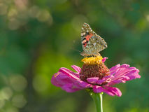 Mariposa horizontal Foto de archivo libre de regalías