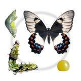 Mariposa, huerta Swallowtail, macho del ciclo vital Foto de archivo libre de regalías