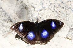 Mariposa - Hypolimnas Misippus Fotos de archivo libres de regalías
