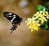 Mariposa india - polytes de Papilio imagen de archivo