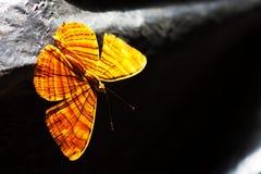 Mariposa intermedia del maplet del fondo de Tailandia Fotografía de archivo