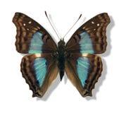 Mariposa iridiscente Fotografía de archivo