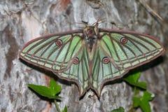 Mariposa Isabelina Fotos de archivo