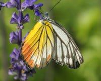 Mariposa (Jezabel pintado) Imagenes de archivo