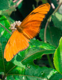 Mariposa Julia Longtail Imagen de archivo libre de regalías