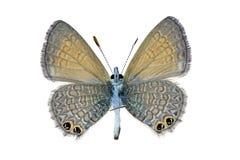 Mariposa - línea manchada dos azul Fotos de archivo