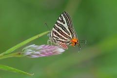 mariposa Largo-congregada de Silverline Imágenes de archivo libres de regalías