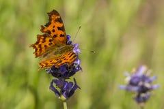 Mariposa, lepidópteros Un insecto con las alas muy frágiles imagenes de archivo