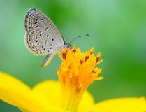 Mariposa (Lesser Grass Blue) Fotografía de archivo libre de regalías
