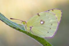 Mariposa, limón Imagen de archivo libre de regalías