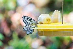 Mariposa linda que se sienta en alimentador de la bandeja con el plátano Imágenes de archivo libres de regalías