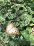 Mariposa llana Imágenes de archivo libres de regalías