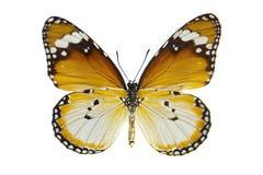 Mariposa llana del tigre foto de archivo